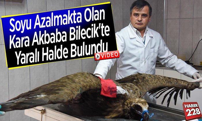 Soyu Azalmakta Olan Kara Akbaba Bilecik'te Yaralı Halde Bulundu